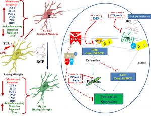 β-Caryophyllene (BCP) as a CB2 agonist in neuroprotection